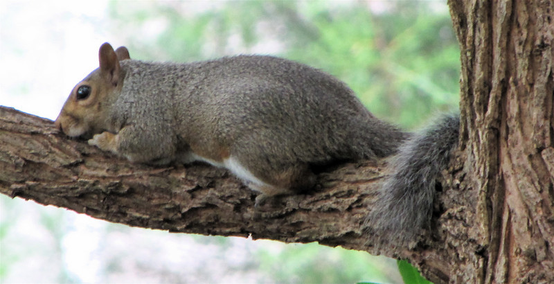 Put Your Nose to the Ground Squirrel - What a Way to Rest in the Black Willow Tree by the Porch