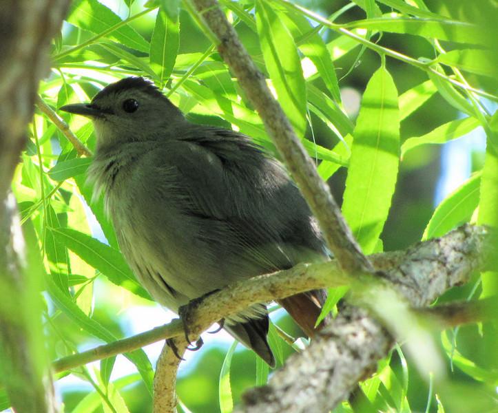 Mama Catbird Taking A Break From The Nest