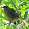 Mama Catbird Taking A Break From The Nest