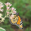 Monarch On Joe Pye Weed Blooms