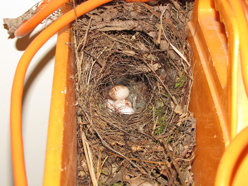 Eggs in Wren's Nest in Ken's Garage, A Neighbor