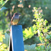 Flycatcher - Not Sure Which One
