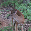 Young Male Deer in Backyard