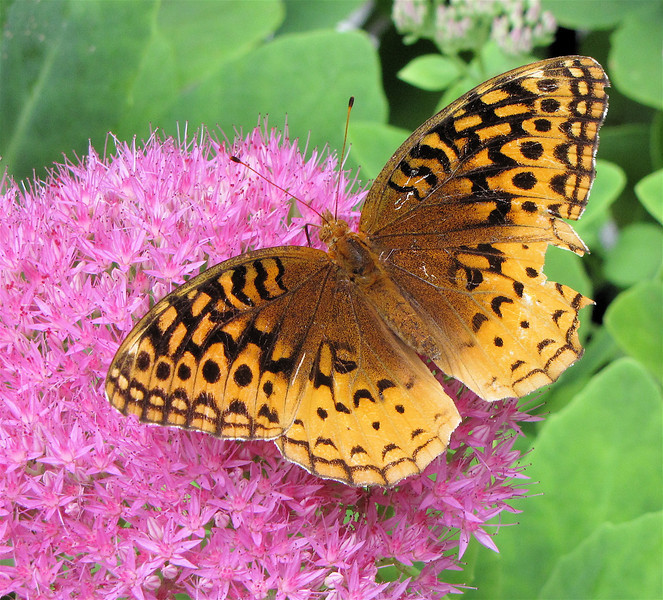 Great-spangled Fritillary Butterfly on Sedum