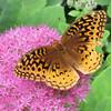 Great-spangled Fritillary Butterfly on Sedum