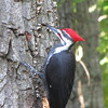 Pileated Woodpecker on Dead Tree