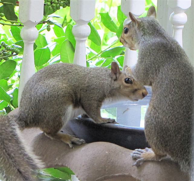 Squirrels At The Bird Bath - Ready For Baptism