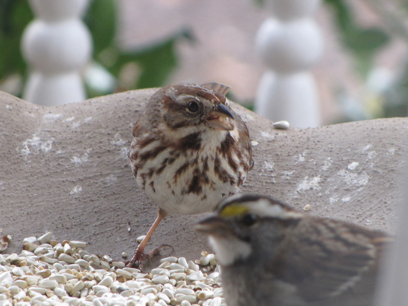 Eastern Song Sparrow with White-throated Sparrow