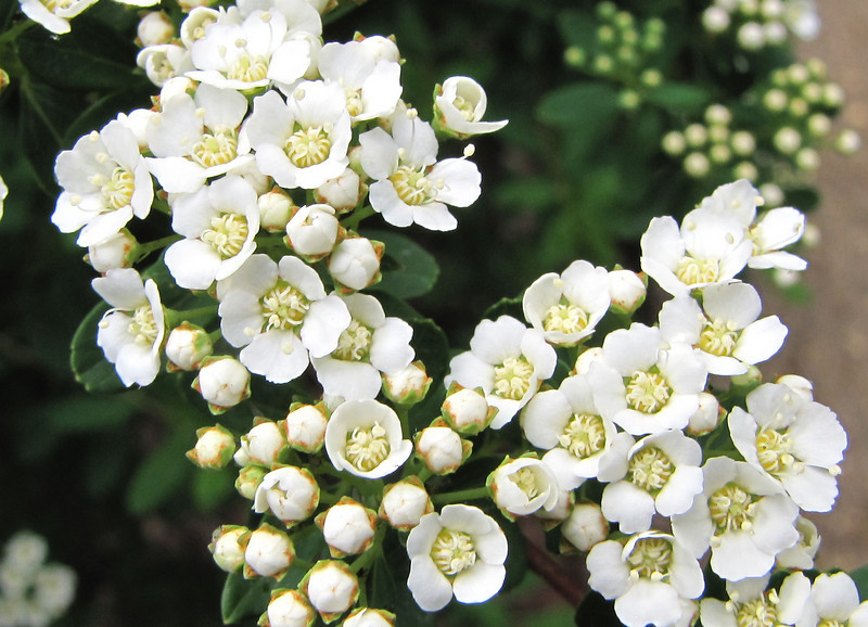 Spiraea nipponica ?Snowmound? - Early May Garden