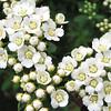 Spiraea nipponica ?Snowmound? - Early May Garden