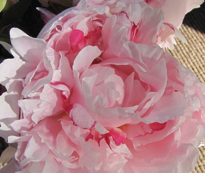 Peony From The Garden