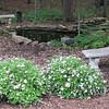 Springtime - Spireas and Pond