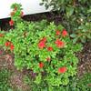 Red Azaleas Blooming - Not Eaten By Deer