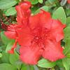 Close-up Red Azaleas