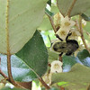 Bee on Autumn Olive Flowers - Elaeagnus fruitlandii