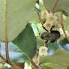 Bee on Autumn Olive Flowers - Elaeagnus fruitlandii