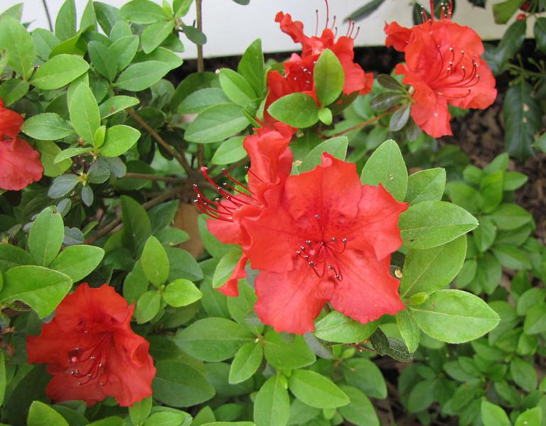 Red Azaleas Front Porch