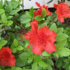 Red Azaleas Front Porch