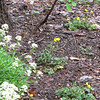 "Added Buttercups to Garden.  Read about <a target=""_blank"" href=""http://www.thenatureinus.com/2009/05/gardening-with-buttercups.html"">Gardening With Buttercups</a>."