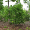 Honey Locust Growing Up