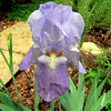 Iris Closeup - Early May Garden