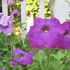 Heritage Petunias