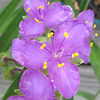 Closeup Spiderwort
