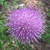 Flower on Bull Thistle