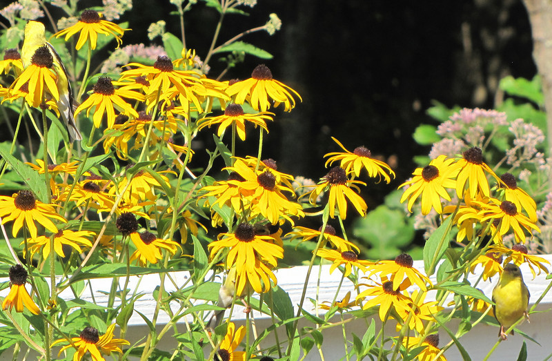 Three Goldfinches in the Black-eyed Susans Eating Seeds - Can You Find Them - One of Them You Won't See Their Head