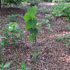"""Mr. Bud - A Redbud That The Deer Have Challenged For Years and He Keeps Trying.  Read the story behind this tree:  <a href=""""http://bit.ly/1Nt3roS""""><b>Mr. Bud Survives the Crime</b></a>."""