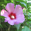 Close-up Rose of Sharon Bloom