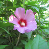 First Rose of Sharon Bloom