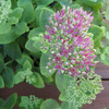 Stonecrop Sedum Beginning to Bloom
