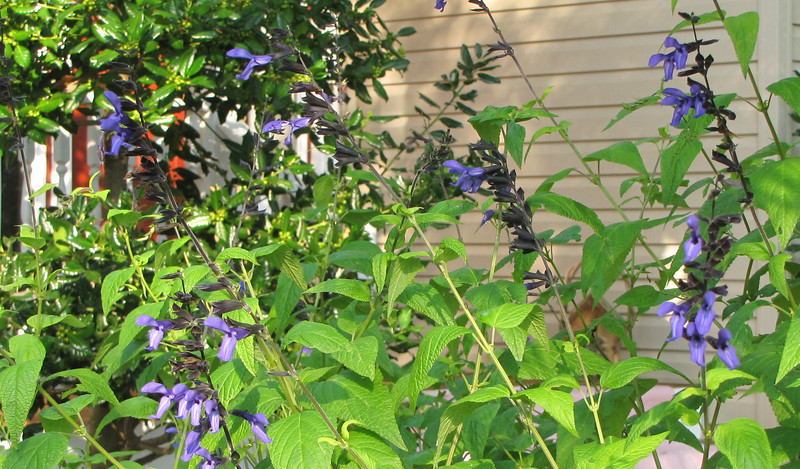 Blue-Black Salvia