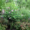 Amazing Lush Garden - Rose of Sharon In Bloom and No Japanese Beetles - July 13