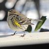 Yellow-rumped Warbler on Front Porch