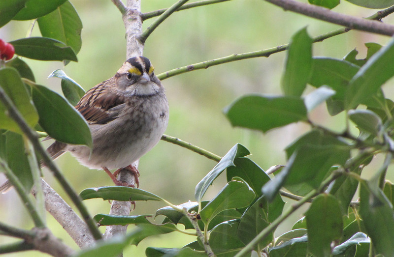White-throated Sparrow in the Holly Tree