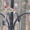 Male House Finch Watching Pileated Woodpecker on Suet Feeder