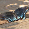 Tattered Red-spotted Purple Admiral Butterfly