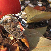 Red Admiral on Rotting Fruit
