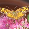 Pearl Crescent Butterfly on Stonecrop Sedum