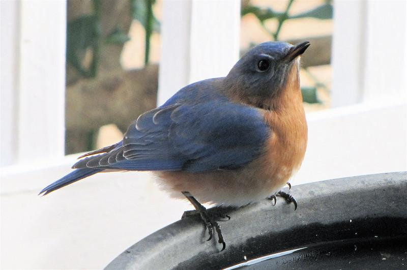 Male Eastern Bluebird at Birdbath