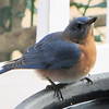 Male Eastern Bluebird at Birdbath
