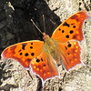 Question Mark Comma Butterfly (Polygonia interrogationis) Winter Form