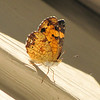 Pearl Crescent Butterfly Closed Wings