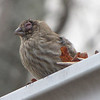 Female House Finch with Conjunctivitis Eye Disease - Clean Your Feeders Regularly