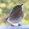 Posing Eastern Bluebird