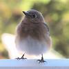 Precious Eastern Bluebird