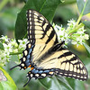 Eastern Tiger Swallowtail, Female Adult, on Holly Blossoms