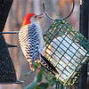Morning Sunlight on Red-bellied Woodpecker at Suet Feeder